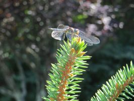 Dragonfly 3 by Charlief43