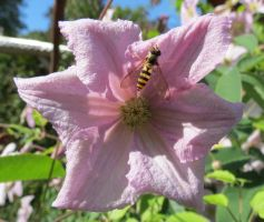 Clematis and a bug by Kattvinge