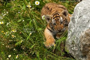 Baby Tiger by Sagittor