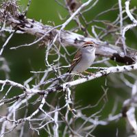 Chipping Sparrow by clippercarrillo
