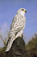 Gyrfalcon by guadisaves02
