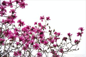 Magnolia by rici66