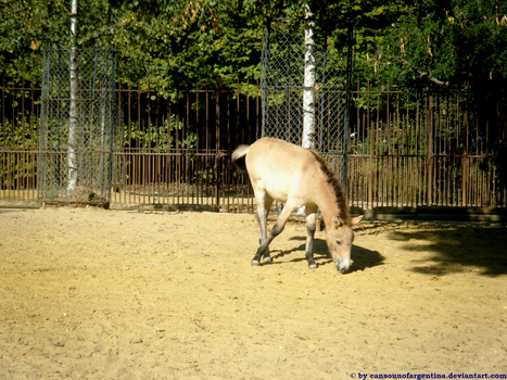 """history of the przewalskis horse Przewalski's horses it looks like the latter, which were taken to be the last wild horses in the planet since their first discovery in the 19th century, actually represent the feral descendants of the first horses ever domesticated """"our findings literally turn current population models of horse origins upside-down."""
