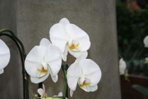 nice white orchids 3 by ingeline-art