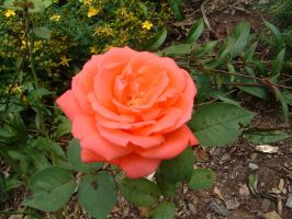 flower 16 - rose by n-gon-stock