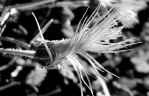 Dry flower by Betagalactosidase