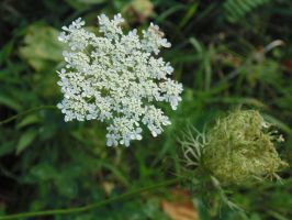 Queen Anne's Lace by chickadee-studio