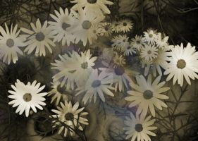 daisies by penngregory
