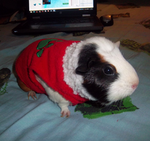 Zeoy the Guinea Pig - Christmas present by SuperTheFluffyLizard