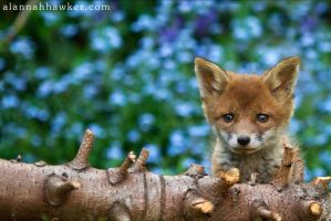 Fox Cub 14 by Alannah-Hawker