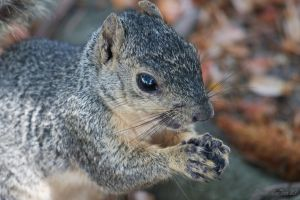 Grey Squirrel by Dmactear