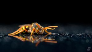 Nomada Bee II by gmwebs