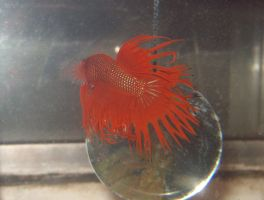 Leif - Crowntail Betta by Gizmo-The-Freaky