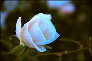 Le temps des roses by ShlomitMessica