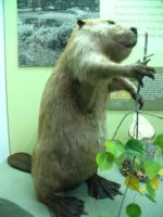 Beaver Display by abuseofstock