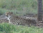 Monarto 2014: Cheetah 01 by lizardman22
