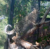 Denver Zoo 21 Snow Leopard by Falln-Stock