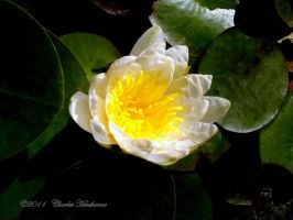 Dwarf White Water Lilly by mudhead1