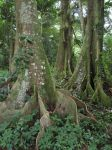 Tropical Fig Forest by joeyartist