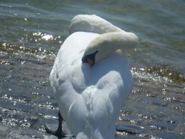 swan by ChrisBrowning