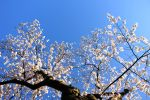 Tree of Cherry Under the Sky by hufranklin