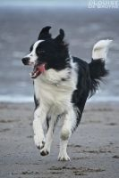 Border Collie by Louserz