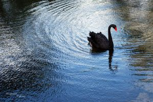The Black Swan by Jenngee