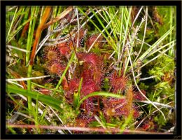 Drosera - 3 by J-Y-M