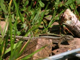 lizard 14 by Pagan-Stock