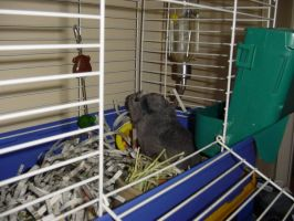 Thumper The Guinea Pig by Random-Name-Here
