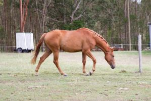 Dn warmblood chestnut walking side view head lower by Chunga-Stock