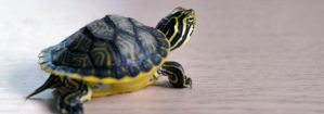 Baby Turtle by dondena