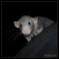Pilule - Fancy rat by DeLLa-Fx