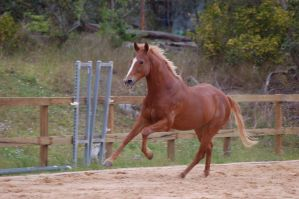 TB front legs elevated gallop by Chunga-Stock