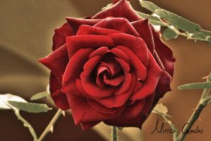 Red rose by Engel92