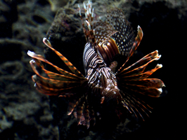 Lion FIsh by ShadowstalkerW