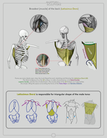 Latissimus Dorsi by anatomy4sculptors
