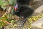 Baby moorhen by NickiStock