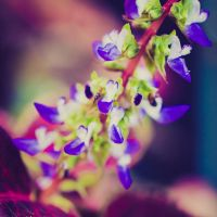 Coleus inflorescence by pagit