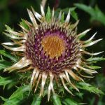 Golden Thistle by Althytrion