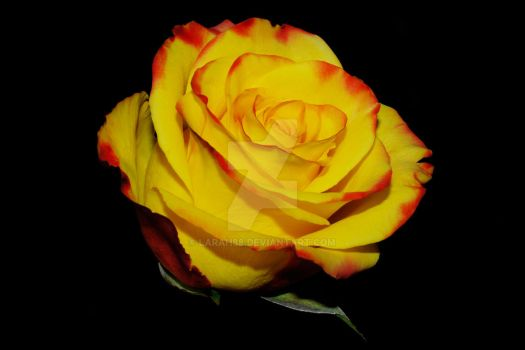 Yellow and Red Rose by Larah88