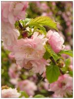 In bloom - plum tree by bwanot