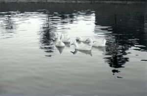 Ducks by SmellsLikeDookie