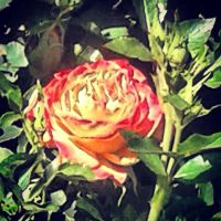 Yellow Rose Red Tips by RockyRoxas13