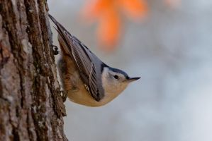 White Breasted Nuthatch 1 by bovey-photo