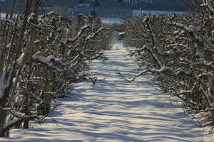 Snow Orchard by FoxStox