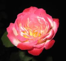 Rose 052115 04 by acurmudgeon