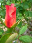 Swirled Rose Bud by my-dog-corky