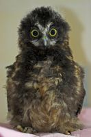 Baby Morepork by carterr