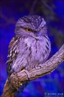 Tawny Frogmouth - 01 by shiroang